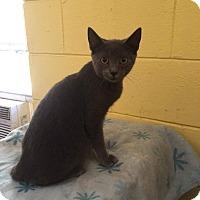 Domestic Shorthair Kitten for adoption in Media, Pennsylvania - Grey Goose