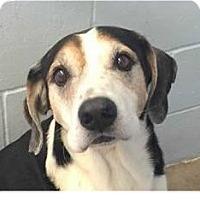 Hound (Unknown Type) Mix Dog for adoption in Springdale, Arkansas - Ben