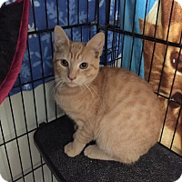 Domestic Shorthair Kitten for adoption in Hamilton, New Jersey - CHILI - Adoption Pending