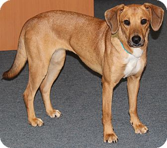 Labrador Retriever/Beagle Mix Dog for adoption in West Milford, New Jersey - TIGGER