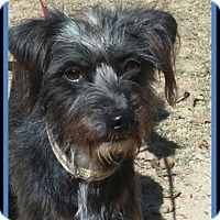 Schnauzer (Miniature)/Yorkie, Yorkshire Terrier Mix Dog for adoption in Ringwood, New Jersey - Patch