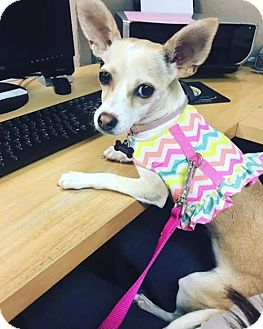 Chihuahua/Terrier (Unknown Type, Medium) Mix Dog for adoption in Dallas, Texas - Wendy
