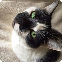 Domestic Shorthair Cat for adoption in Vancouver, British Columbia - Cee Cee