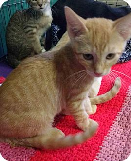 Domestic Shorthair Kitten for adoption in Seminole, Florida - Chex