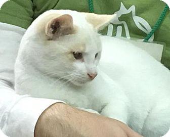 Siamese Cat for adoption in Media, Pennsylvania - Scotty