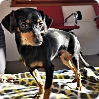 Adopt A Pet :: Brody - Seattle, WA
