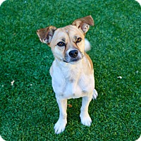 Jack Russell Terrier Mix Dog for adoption in Litchfield Park, Arizona - Phoebe