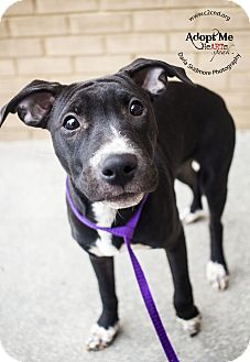Pit Bull Terrier/Hound (Unknown Type) Mix Puppy for adoption in Mooresville, North Carolina - Pidgey (Pokemon Litter)