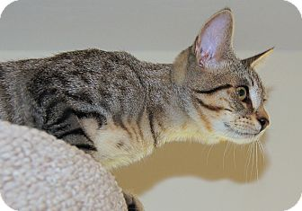 American Shorthair Kitten for adoption in Victor, New York - Spinner