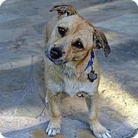 Adopt A Pet :: Ginger - Houston, TX