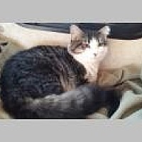 Domestic Mediumhair Cat for adoption in Pittsboro, North Carolina - Beauty
