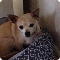 Adopt A Pet :: Chloe the chi - Catharpin, VA