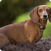 Adopt A Pet :: Sadie Babykins - Salem, OR