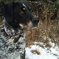 Labrador Retriever/Pointer Mix Dog for adoption in New Richmond,, Wisconsin - Donner