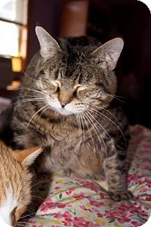 Domestic Shorthair Cat for adoption in New Bedford, Massachusetts - Jenny