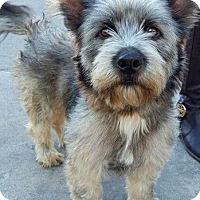 Adopt A Pet :: Shamus-ADOPTION PENDING - Boulder, CO