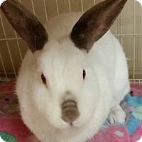 Adopt A Pet :: Anne 3 yr old Californian - Struthers, OH