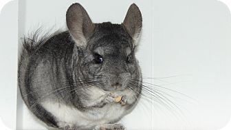 Chinchilla for adoption in Union, Kentucky - Ruby
