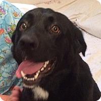 Shepherd (Unknown Type)/Labrador Retriever Mix Dog for adoption in Jesup, Georgia - Sammy