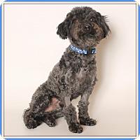 Adopt A Pet :: Ziggy - Glendale, AZ