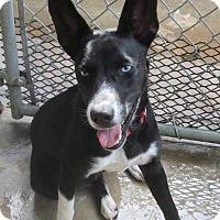 Adopt A Pet :: Athena - St. Charles, MO