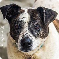 Adopt A Pet :: Maddy - Dallas, TX