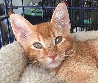 Domestic Shorthair Kitten for adoption in McKinney, Texas - Milo