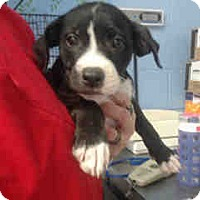 Labrador Retriever/Pit Bull Terrier Mix Puppy for adoption in San Bernardino, California - URGENT ON 10/14 San Bernardino