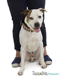 American Bulldog/Boxer Mix Dog for adoption in San Antonio, Texas - Bubba