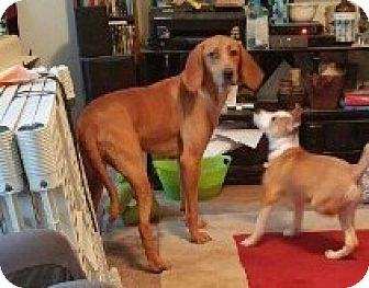 Redbone Coonhound Mix Dog for adoption in Hanover, Pennsylvania - Zelda-31483