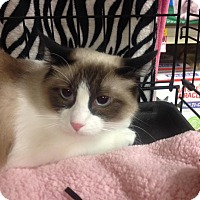 Snowshoe Cat for adoption in College Station, Texas - Champagne