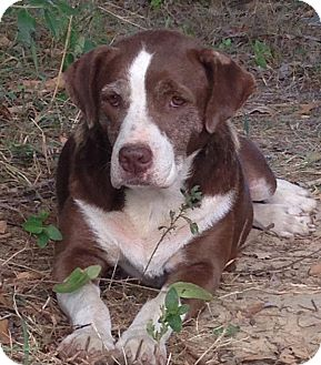 Retriever (Unknown Type)/Hound (Unknown Type) Mix Dog for adoption in Mount Holly, New Jersey - Deloris