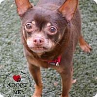 Adopt A Pet :: Chocolate - Youngwood, PA