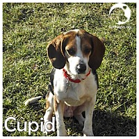 Adopt A Pet :: Cupid - Pittsburgh, PA