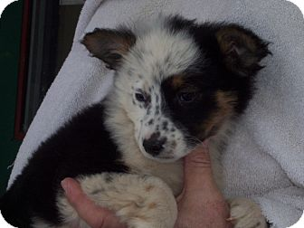 Australian Cattle Dog/Border Collie Mix Puppy for adoption in Germantown, Maryland - Elza