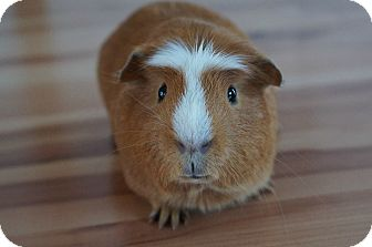 Guinea Pig for adoption in Brooklyn Park, Minnesota - Rusty