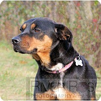 Adopt A Pet :: Roxi - in Maine! - kennebunkport, ME