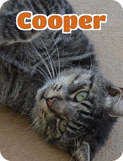 Domestic Shorthair Cat for adoption in Lawrenceburg, Kentucky - #90 Cooper - fostered GB