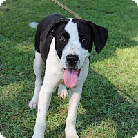 Adopt A Pet :: Snoopy Adoption Pending - East Hartford, CT