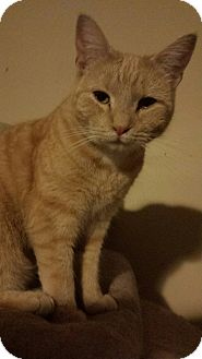 Domestic Shorthair Cat for adoption in Quentin, Pennsylvania - Pumpkin