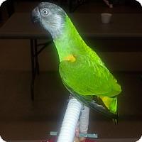 Adopt A Pet :: Poncho - St. Louis, MO