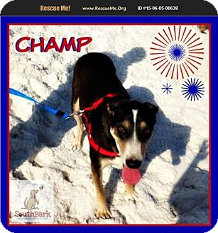 Shepherd (Unknown Type)/Husky Mix Dog for adoption in Pensacola, Florida - Champ