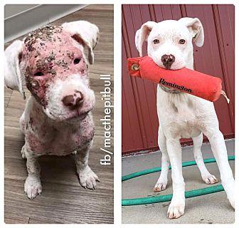 Labrador Retriever/Pit Bull Terrier Mix Dog for adoption in joliet, Illinois - GINGER
