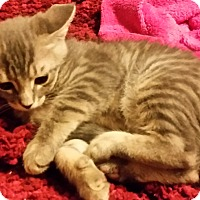 Adopt A Pet :: LITTLE MISTER - Acme, PA
