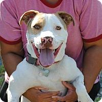 Hound (Unknown Type)/Terrier (Unknown Type, Medium) Mix Dog for adoption in Linden, New Jersey - DIXIE