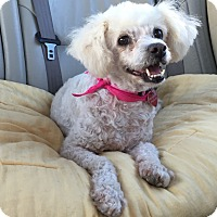 Poodle (Miniature) Dog for adoption in Los Angeles, California - MICA
