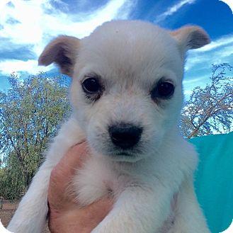 Australian Shepherd/Australian Cattle Dog Mix Puppy for adoption in Cave Creek, Arizona - Regan