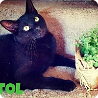 Domestic Shorthair Cat for adoption in Franklin, Indiana - Pistol