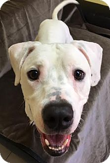 Pit Bull Terrier Mix Dog for adoption in Philadelphia, Pennsylvania - Powder