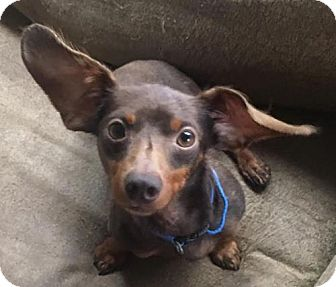 Dachshund/Chihuahua Mix Dog for adoption in Pearland, Texas - Benjamin